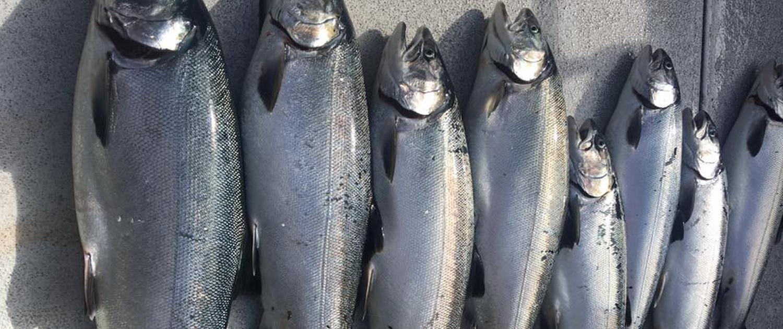 Seattle Fishing Coho Salmon